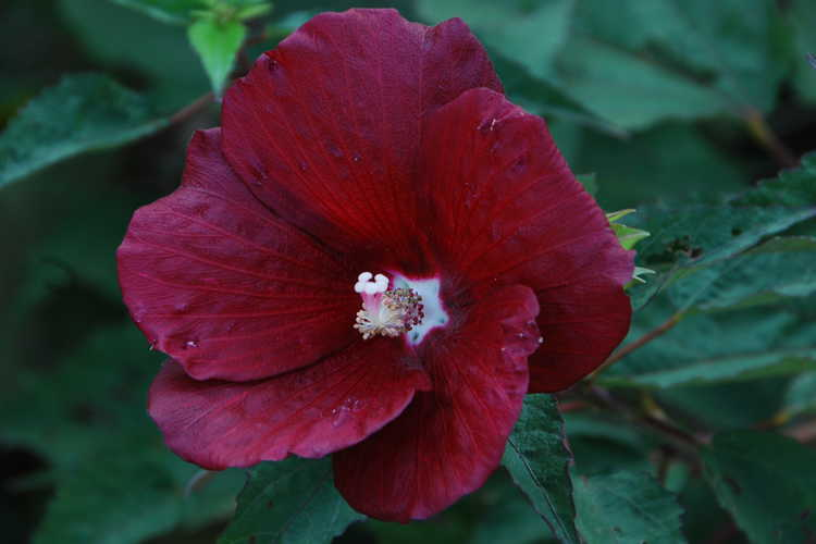 Hibiscus moscheutos 'Whit XX' (Cranberry Punch® swamp rose-mallow)