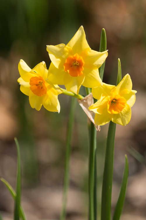 Narcissus 'Falconet' (tazetta daffodil)