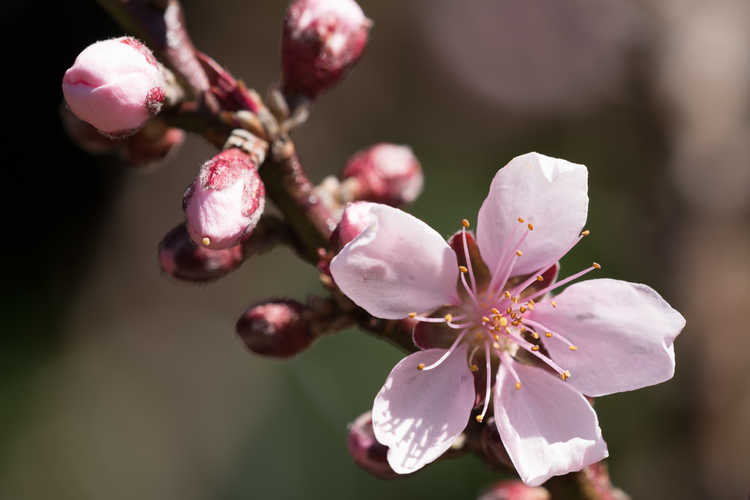 Prunus persica 'Bonfire' (purple-leaf peach)