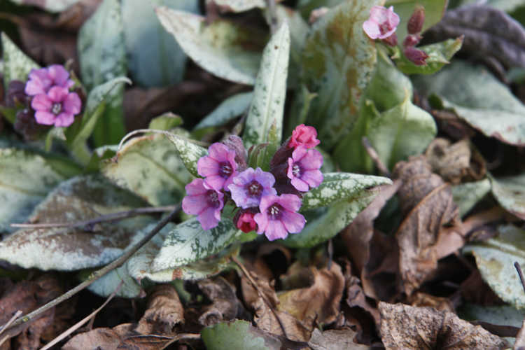 Pulmonaria 'Silver Bouquet' (lungwort)