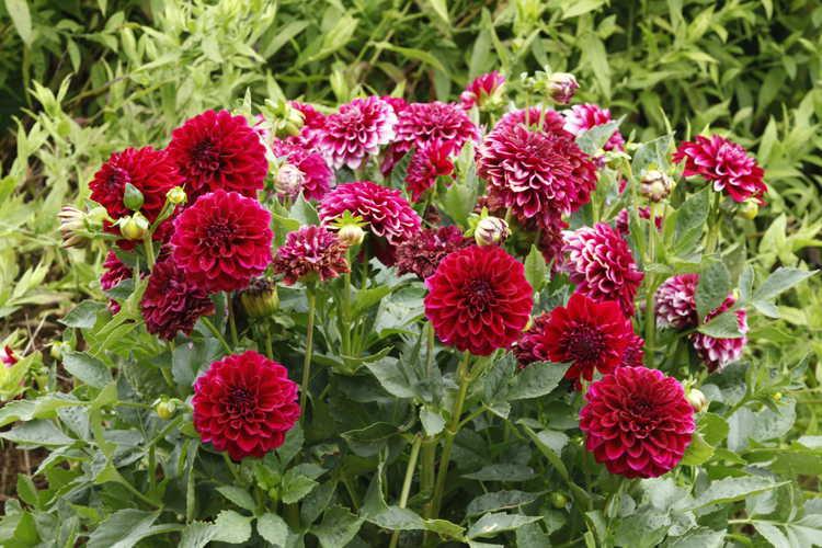 Dahlia (Dalina Maxi Colima garden dahlia)