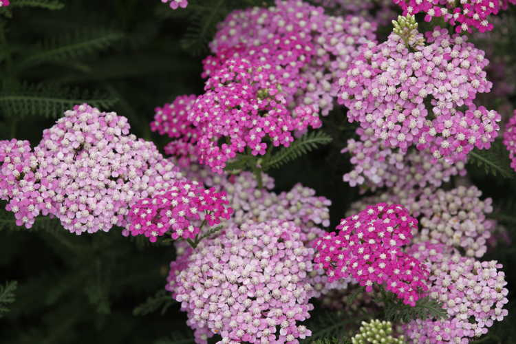 Achillea millefolium (Montrose rose form) (common yarrow)
