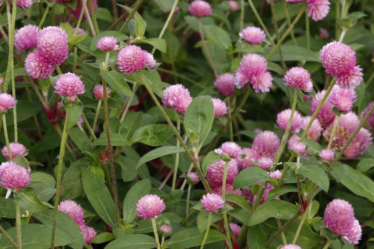 Gomphrena globosa Las Vegas™ Pink common globe amaranth