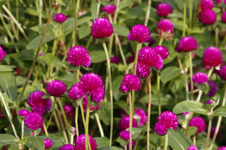 Gomphrena globosa Las Vegas™ Purple common globe amaranth