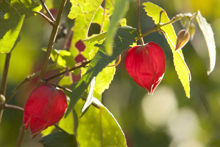 Abutilon megapotamicum 'Little Imp' (flowering maple)