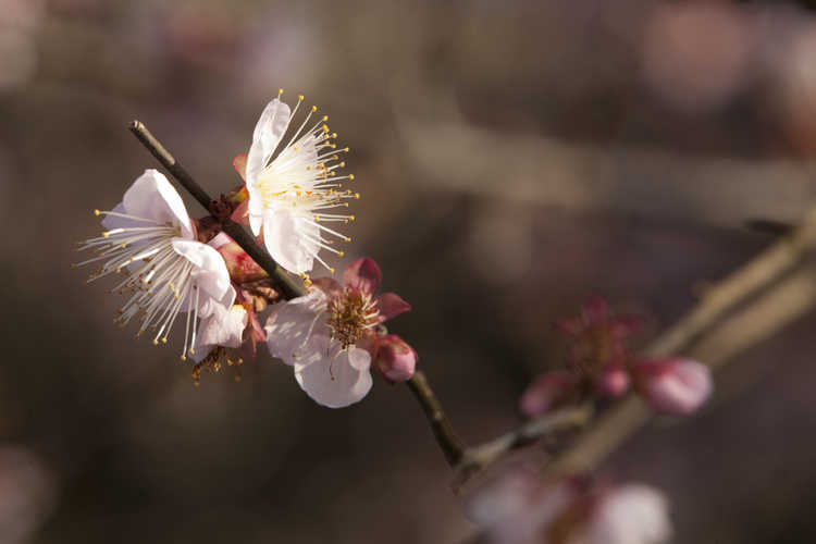 Prunus mume (Japanese flowering apricot)