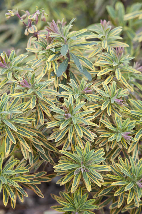 Euphorbia ×martinii 'Ascot Rainbow' (variegated wood spurge)