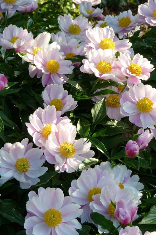 Paeonia lactiflora (peony)