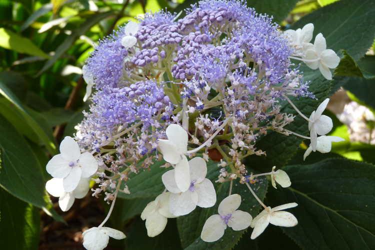 Hydrangea involucrata 'Wim Rutten' (Blue Bunny™ bracted hydrangea)