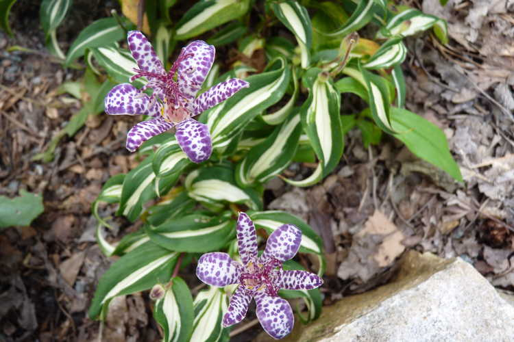 Tricyrtis 'White Waves' (variegated toad lily)