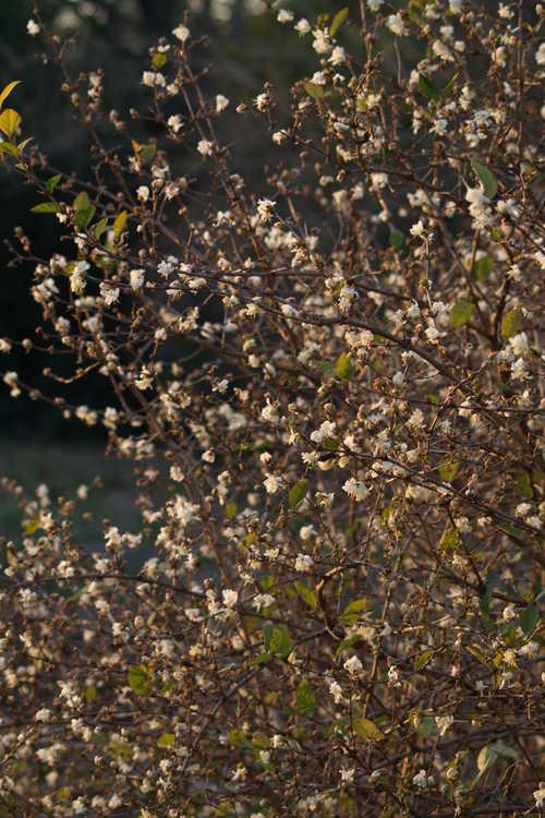 Lonicera ×purpusii (winter honeysuckle)