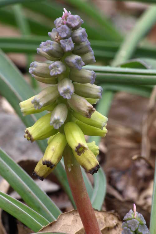 Muscari macrocarpum 'Golden Fragrance' (yellow grape hyacinths)