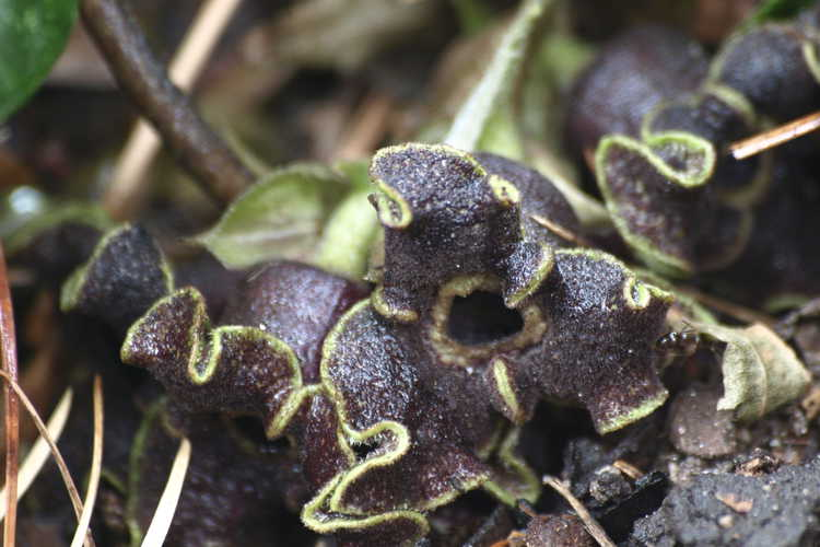 Asarum kumageanum (Japanese wild ginger)