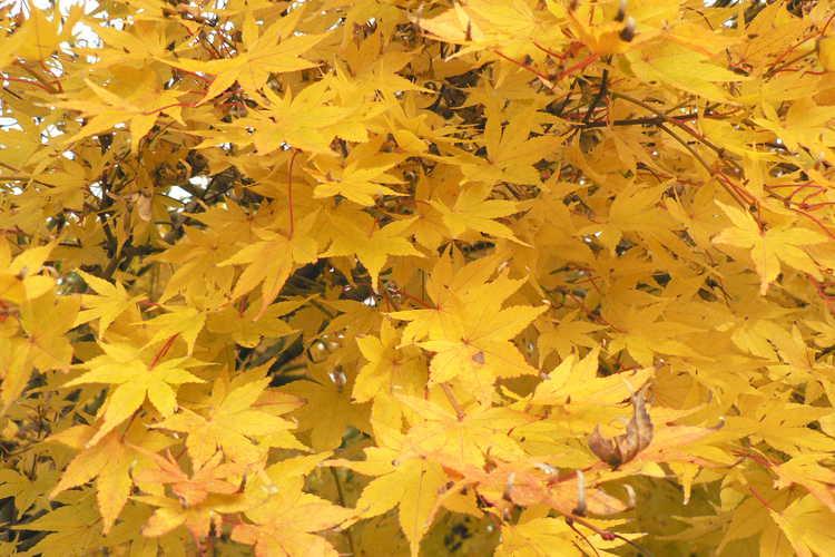 Acer palmatum 'Beni kawa' (coral-bark Japanese maple)