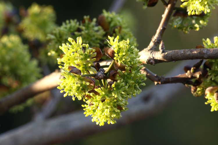 Lindera chienii (winter spicebush)