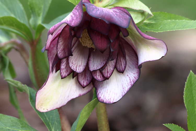Helleborus ×hybridus 'Peppermint Ice' (double Lenten rose)