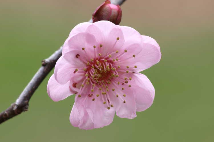 Prunus ×blireana (Blireana plum)