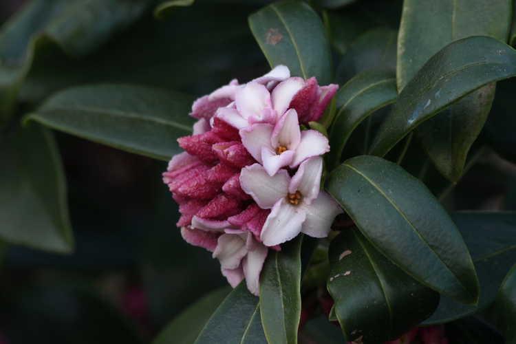 Daphne odora 'Zuiko Nishiki' (winter daphne)