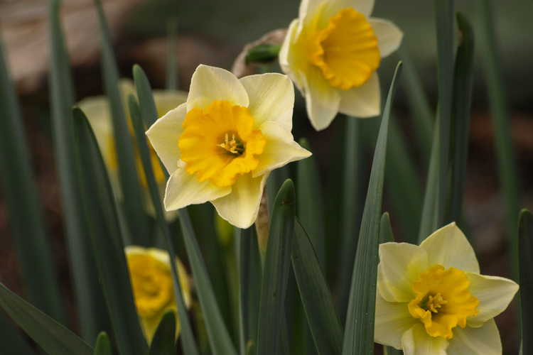 Narcissus 'Derringer'
