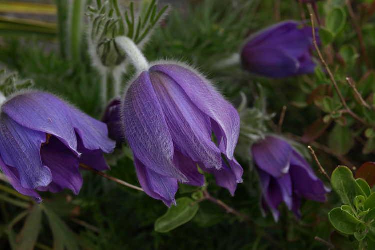 Pulsatilla halleri (Haller's pasque-flower)