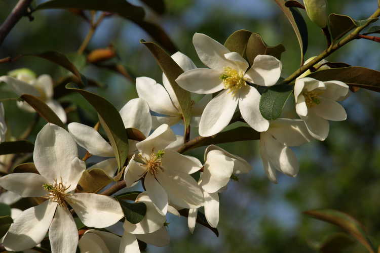 Magnolia laevifolia 'Michelle' (shrubby michelia)