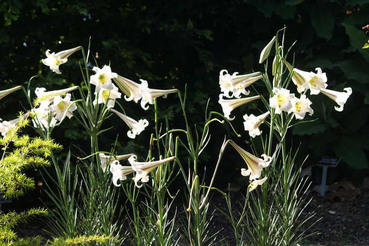 Lilium formosanum var. pricei (dwarf Formosa lily)