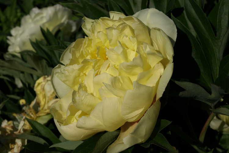 Paeonia 'Bartzella' (Itoh hybrid peony)