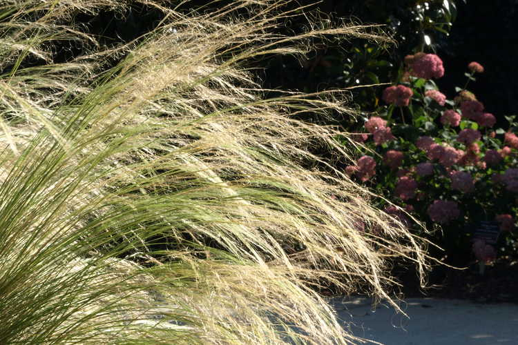 Stipa lessingiana 'Capriccio' (feather grass)