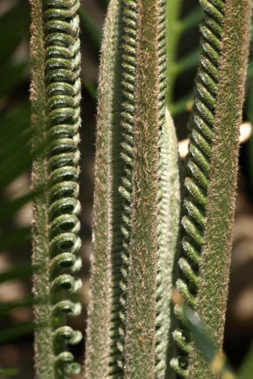 Cycas revoluta (sago palm)