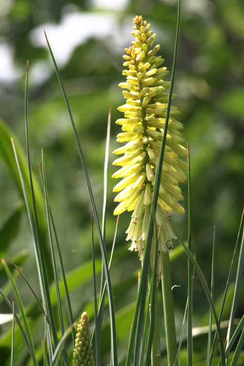 Kniphofia 'Pineapple Popsicle' (yellow red-hot poker)
