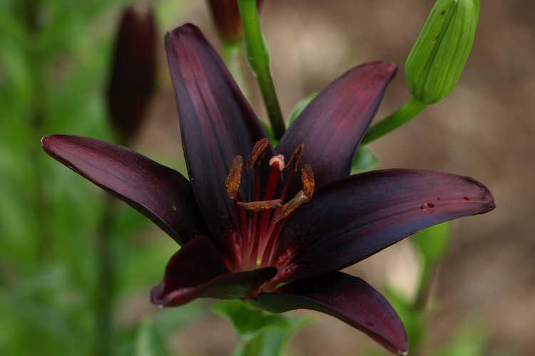 Lilium 'Landini' (hybrid lily)