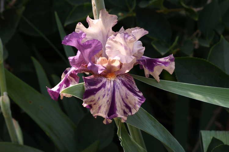 Iris 'Raspberry Silk' (border bearded iris)