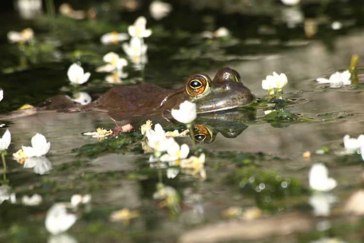 Elodea canadensis - Rana catesbeiana (American bullfrog)