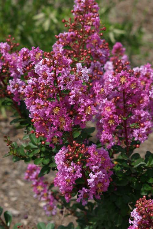Lagerstroemia 'Jd827' (Early Bird™ Purple hybrid crepe myrtle)