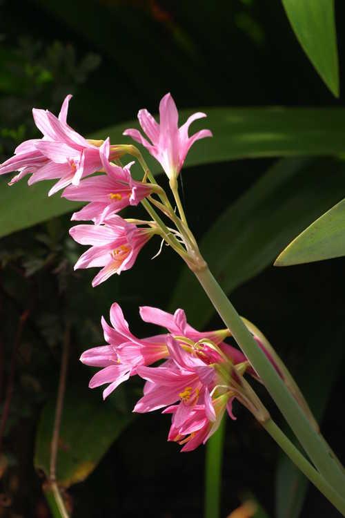 Rhodophiala bifida var. spathacea (pink oxblood-lily)