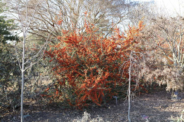 Pyracantha 'Cadange' (Saphyr Orange firethorn)
