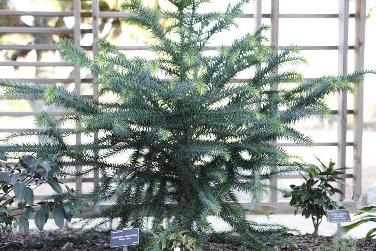 Araucaria angustifolia (Parana pine)