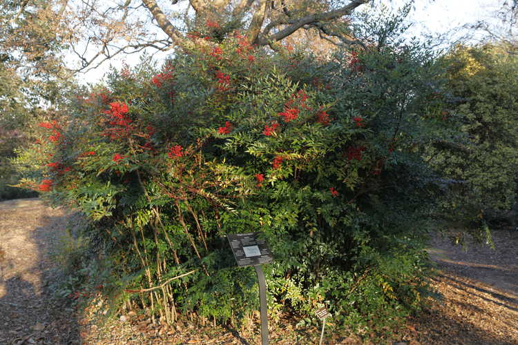 Nandina domestica 'Royal Princess' (heavenly bamboo)