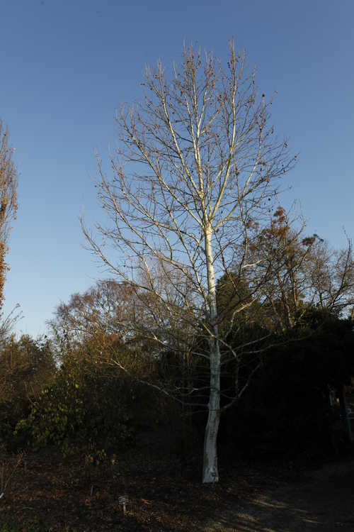 Platanus ×hispanica 'Suttneri' (variegated London planetree)