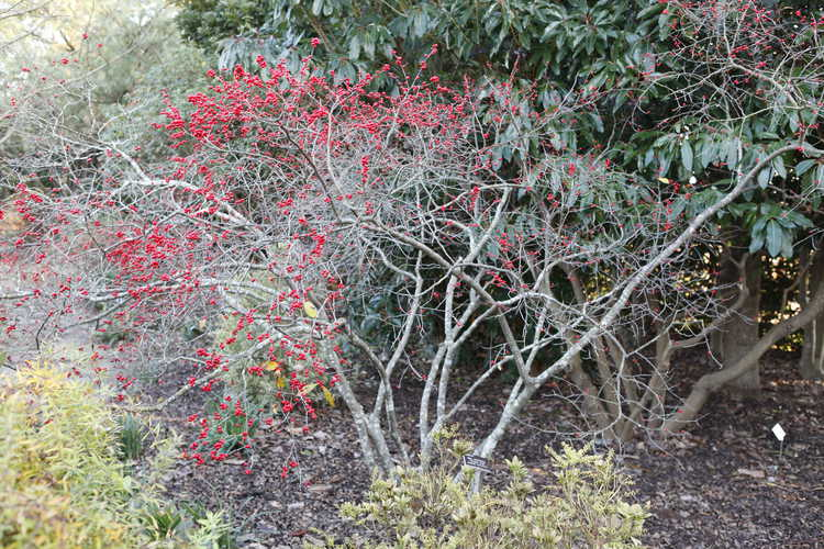 Ilex verticillata (winterberry holly)