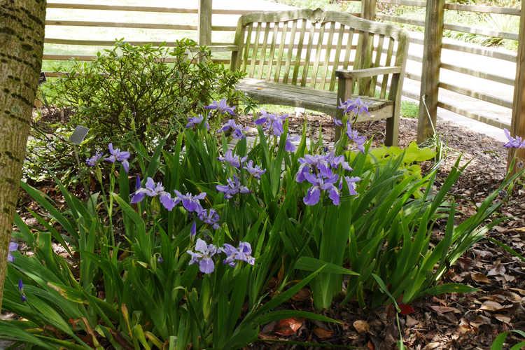 Iris tectorum (Japanese roof iris)