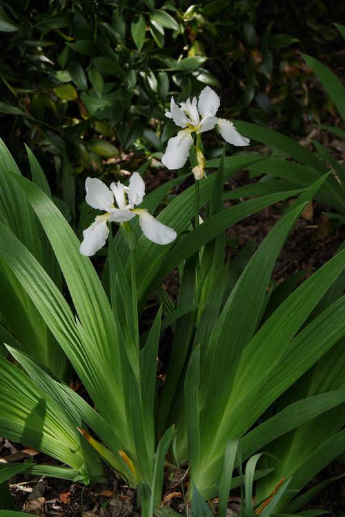 Iris tectorum 'Alba' (Japanese roof iris)