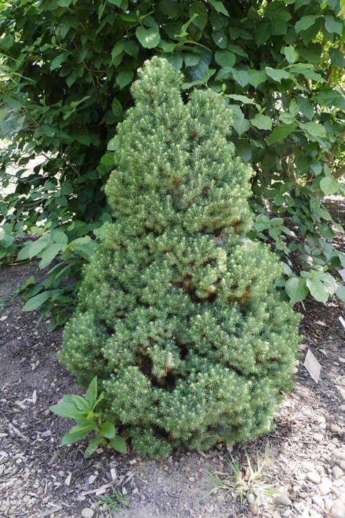 Picea glauca 'Delp's Dwarf' (dwarf white spruce)
