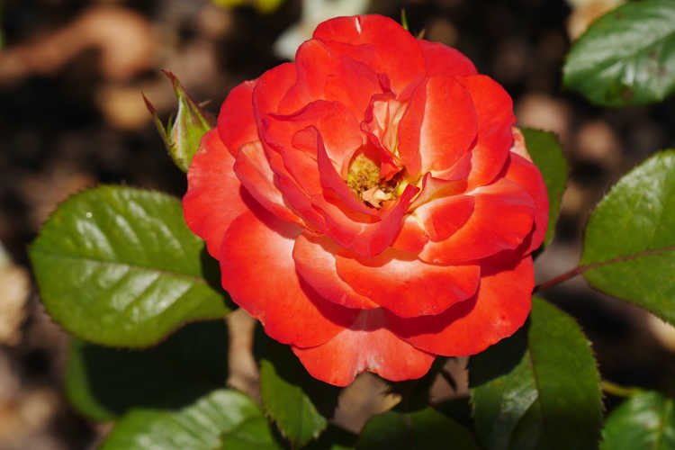 Rosa 'Wekscemala' (Chihuly floribunda rose)