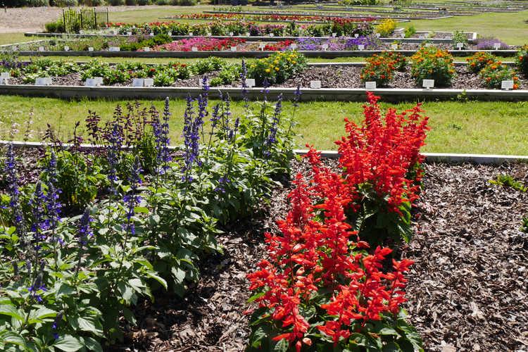 Salvia (sage) - Color Trials