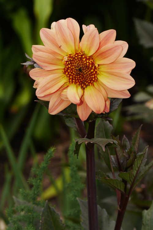 Dahlia 'Classic Elise' (garden dahlia)