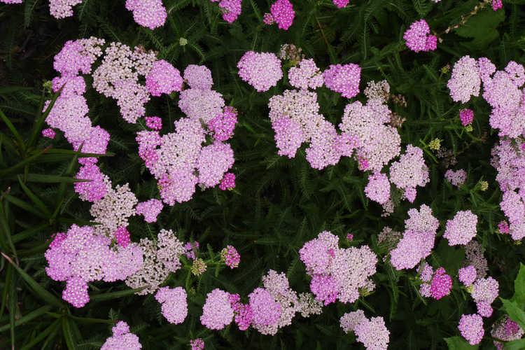 Achillea millefolium (Montrose rose form) (common yarrow)