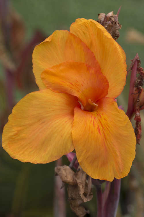 Canna 'African Sunset' (canna lily)