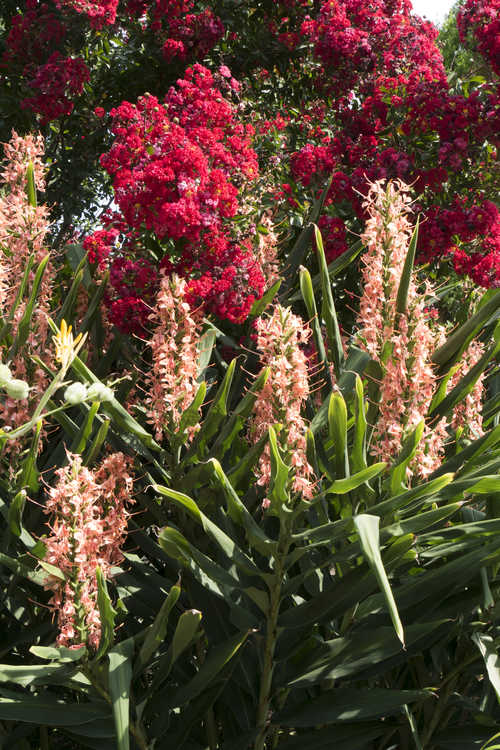 Hedychium coccineum 'Disney' (red ginger-lily)