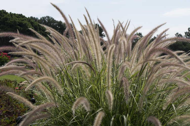 Pennisetum setaceum 'Sky Rocket' (variegated fountain grass)